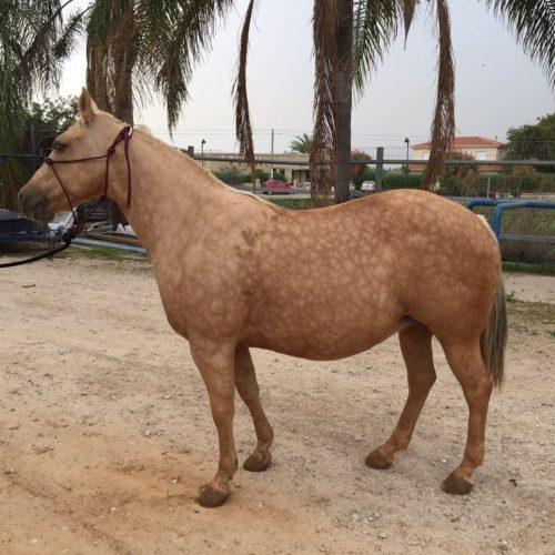 אברמצה קניה מכירה של סוסים