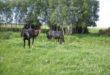 תילוע סוסים