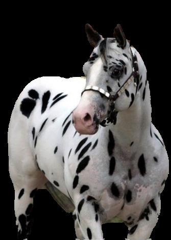 עזרא יסייה מכירת סוסים