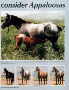 עדר נקבות האפלוסה הראשון שהובאו ארצה בשנת 1986לאורי פלג