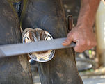 עומר חליפה אילוף סוסים |פרזול סוסים |לימודי הורסמנשיפ