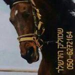 שמוליק הובלת סוסים